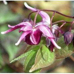 Epimède - Fleur des Elfes